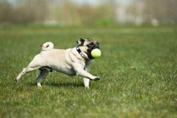 Dog Running With Ball